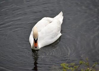 Białe łabędzie na wodzie