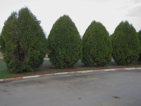 spring landscape green fir along the sidewalk