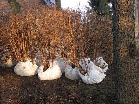tree saplings for landscape design