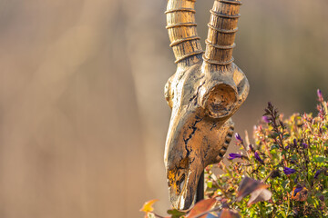 a golden roe bock skull decoration
