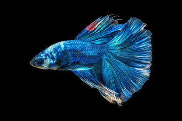 Movement beautiful of colorful siamese betta fish or half moon betta splendens fighting fish in thailand on black color background. underwater animal or pet concept.