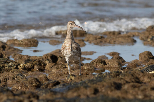 The whimbrel is a large wading bird