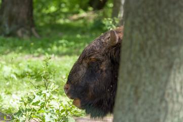 Obraz Głowa dużego dorosłego żubra wystająca zza drzewa ujęcie z bliska - fototapety do salonu