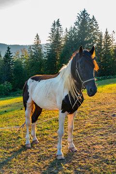 Horse on Tara mountain in Serbia