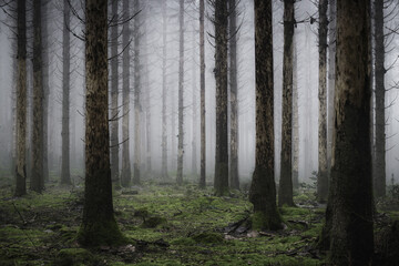 Vertical of the tall trees in the misty and creepy forest