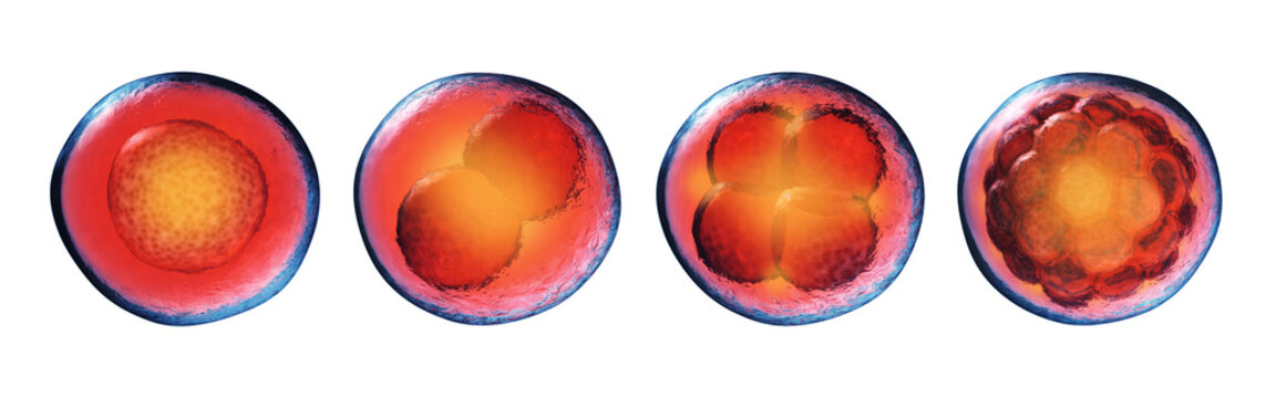 Early stages of embryonic development (embryogenesis) isolated on white. Fertilized egg, 2-cell,4-cell and morula. Cell division (cleavage) and embryo formation.