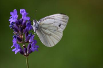 Obraz Motyl na kwiatku - fototapety do salonu