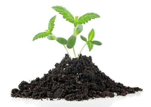 Isolated image of hemp sprouts growing from soil pile, white background. Cannabis. Marijuana.