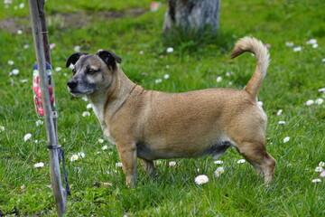Fototapeta Pies ,pies w ogrodzie ,pies ogrodnik ,stary pies obraz