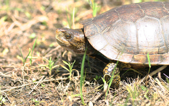 Side view of a Western Pond Turtle (Actinemys marmorata) walking in the grass.