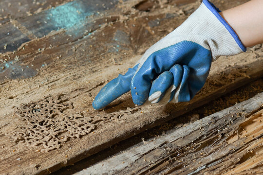 Hand pointing at termites destroying wood from the ground - problem in house concept