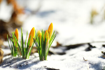 Spring flowers, white crocus snowdrops sun rays. White and yellow crocuses in the country in the spring. Fresh joyous plants bloomed. The young sprouts.