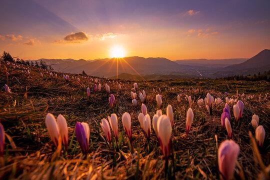 Krokusse - Allgäu - Sonnenuntergang - Krokusblüte - malerisch - Stimmung