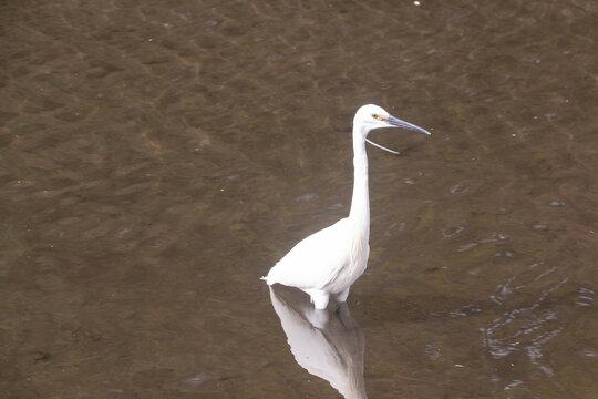 Little egret walking in a river