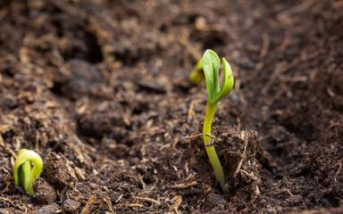 Fototapeta Kiełki słonecznika, młode rośliny wschodzące wiosną z ziemi obraz