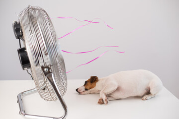 Jack russell terrier dog enjoying the cooling breeze from an electric fan on a white background.