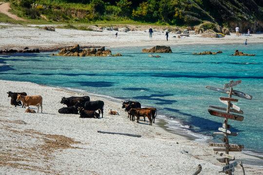 Les vaches sur la plage de Mare e Sole en Corse