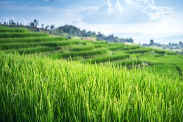 landscape Terrace Green rice field at sunrise
