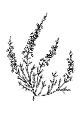 Hand sketched heather illustrations. Vintage summer florals drawing. Traditional plant of Scotland. Botanical elements in engraved style. Heather flowers.
