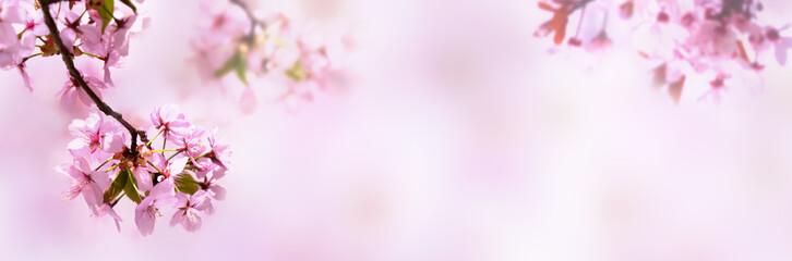 Fototapeta kirschblüten isoliert auf abstraktem rosa hintergrund