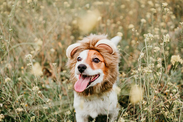 cute jack russell dog wearing a lion costume on head. Happy dog outdoors in nature in yellow flowers meadow. Sunny spring