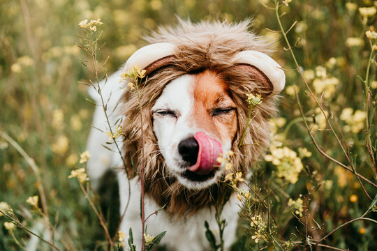 cute jack russell dog wearing a lion costume on head. Happy dog licking nose with tongue outdoors in nature in yellow flowers meadow. Sunny spring