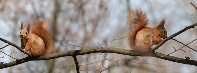 Banner wild red beast squirrel sits on a tree branch.