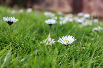 Sezon wiosenny, stokrotki i ogród