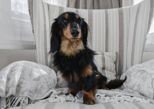 Young black and brown long haired dachshund dog posing sitting on an armchair. Pure breed dachshund looking at the camera.