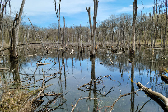 Marsh with Dead Trees