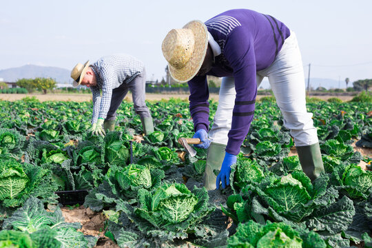 Group of gardeners picking harvest of fresh cabbage at a farm on a sunny day