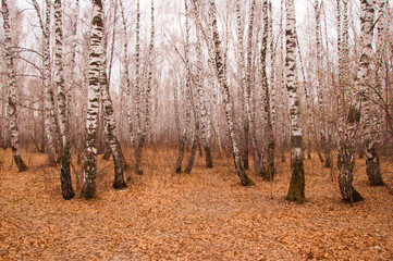 A group of trees of thin trunks of birches in a grove