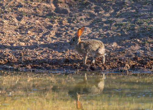 Bush hare, Lepus saxatilis, at a waterhole, Namibia