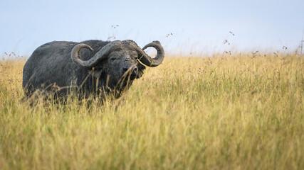 African buffalo (Syncerus caffer), Masai Mara Reserve, Kenya with negative space