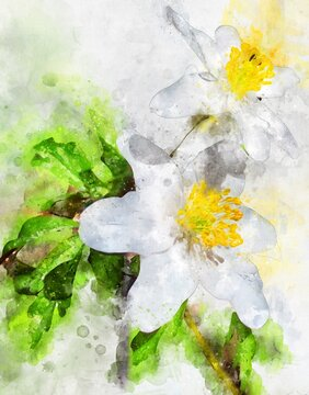 Watercolour painting of white wood anemne flower
