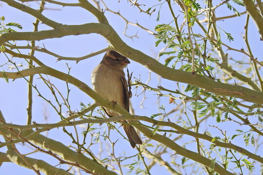 A white-crowned sparrow perched in a tree in Maricopa County, Arizona.