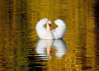 Fototapeta łabędż na wodzie swan obraz