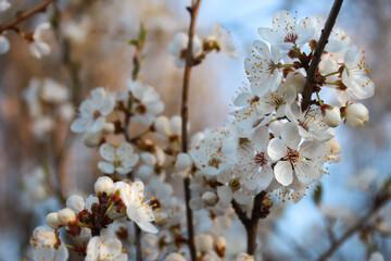Obraz Kwitnące owocowe drzewo  - fototapety do salonu