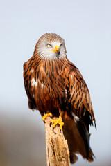 Portrait of a Red Kite (Milvus milvus) sitting on a branch