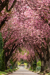 Road with blossoming cherry trees