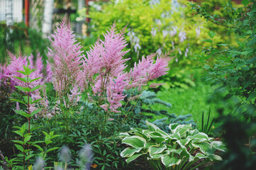 Obraz mixed garden shady border with hostas and astilbe planted together - fototapety do salonu