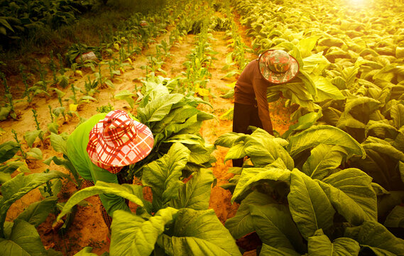 Farmers collect tobacco leaves on farms