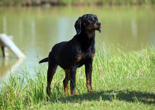 Young female of the breed  Slovakian Hound on the shore of the lake