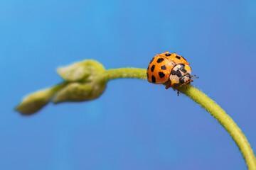 Fototapeta Macro of an orange ladybug walking on a branch of a plant obraz