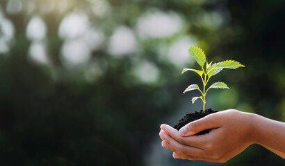 Fototapeta hand holding young plant with sunlight on green nature background. concept eco earth day obraz