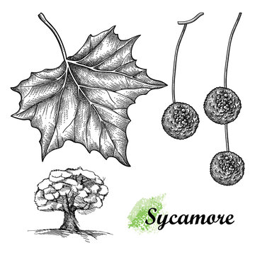 Hand drawn sketch of American sycamore or western plane leaf, fruit and tree in black isolated on white background.