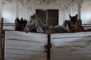 Koń , Konie  , Klacz  , konik , Polski  koń , Koń cheval, zwierzak, farma, glow, cheval, biała, charakter, koni, braun, ssak, portret, ogier, kuc, grzywa, jeździec, zwierzak, klacz , ogier - fototapety na wymiar
