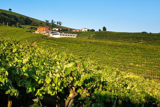 Txakoli white wine vineyards, Getaria, Basque Country, Spain