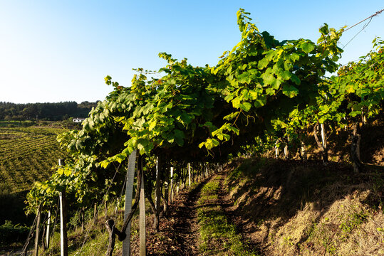 Txakoli white wine vineyards, Getaria, Spain