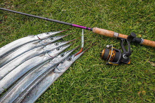 garfish on the grass biting the red silk thread of a lure next to a casting rod